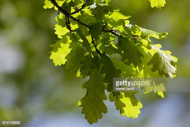 English Oak leaves in Spring