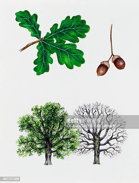 English oak Pedunculate oak or French oak Fagaceae tree with and without foliage leaves and fruits illustration