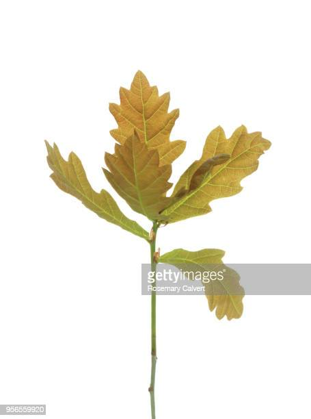 english oak seedling with new leaves in spring. - oak leaf stock pictures, royalty-free photos & images