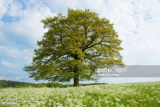 English oak (Quercus robur) stands in a meadow with cow parsley (Anthriscus sylvestris), solitary tree, Thuringia, Germany
