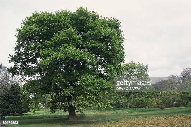 English oak tree in a field
