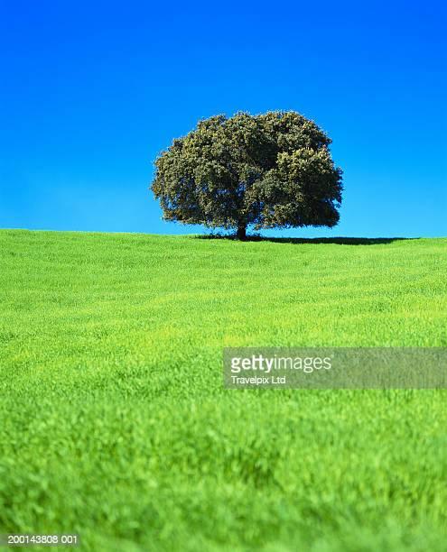 English oak tree (Quercus robur) in wheat field
