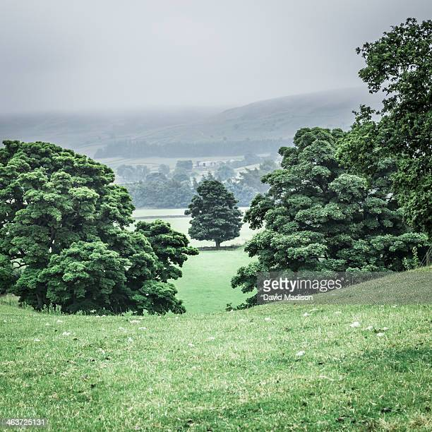 English Oak tree (Quercus robur).