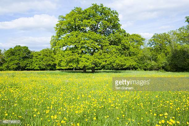 English Oak tree Quercus robur in a field of buttercups in summer in Swinbrook the Cotswolds Oxfordshire UK