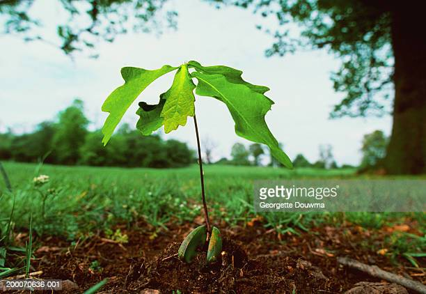 English oak tree seedling shooting from acorn, close-up