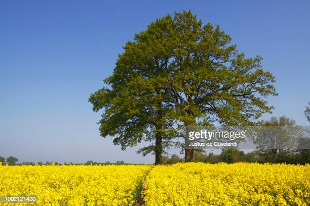 English oak trees (Quercus robur) in a flowering rape field (Brassica napus) in spring, Schleswig-Holstein, Germany