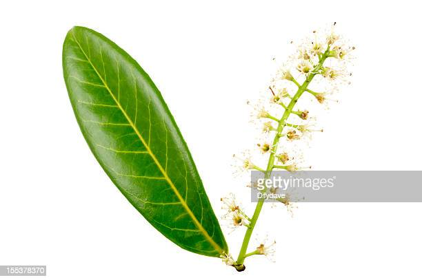 English Or Cherry Laurel Leaves And Flowers