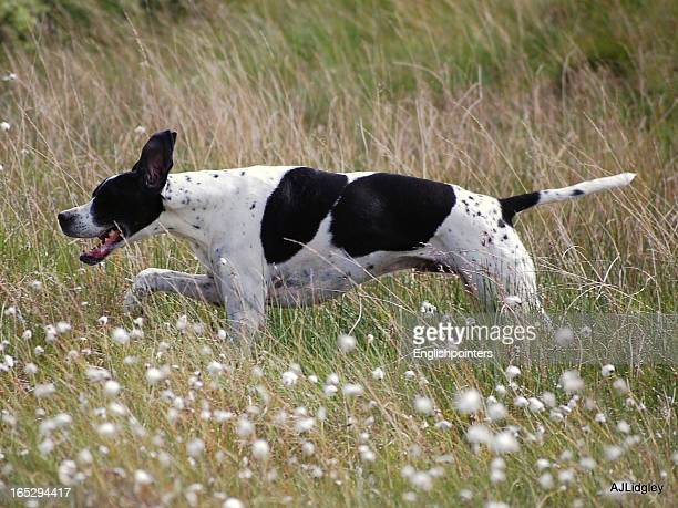 english pointer running in scotland - pointer dog stock pictures, royalty-free photos & images
