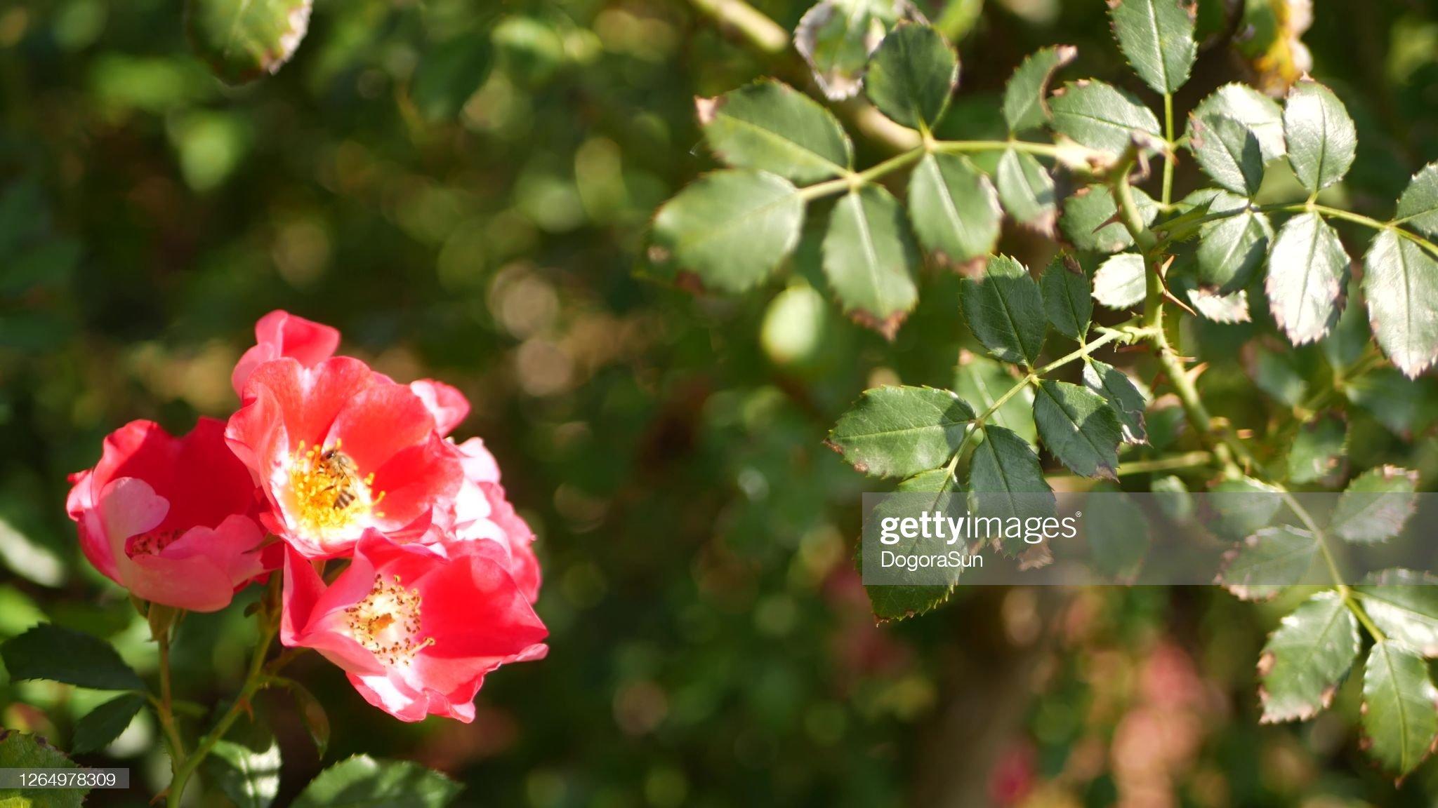 English roses garden. Rosarium Floral background. Tender ...
