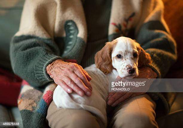 English Setter as therapy dog on a senior woman's lap.