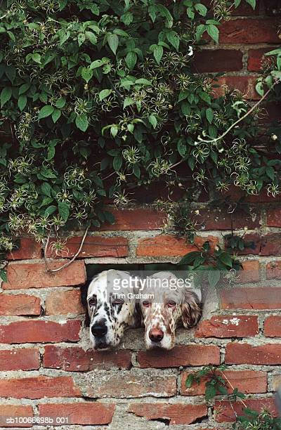 english setter dogs, suffolk, uk - funny animals stock pictures, royalty-free photos & images