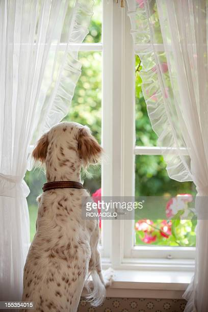 English Setter  looking out of a window, Norway