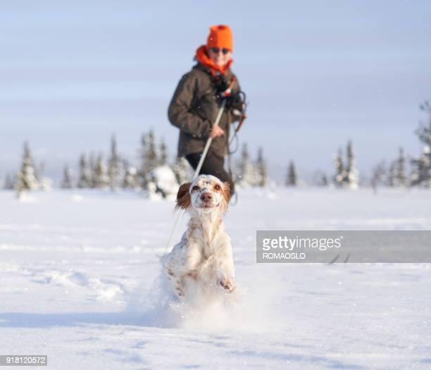 setter inglês correndo na neve profunda, oppland noruega county - cão adestrado - fotografias e filmes do acervo