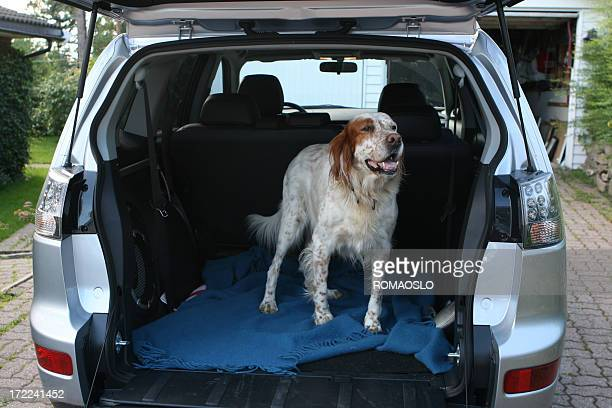 English setter waiting in the car