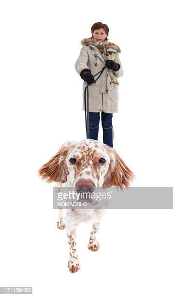 English Setter walking the owner isolated on white, Norway