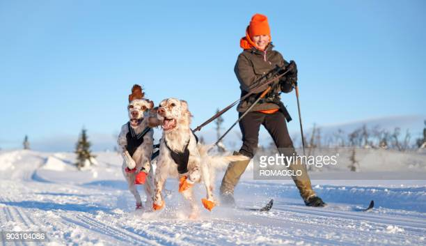 English Setters running in the snow, Oppland County Norway