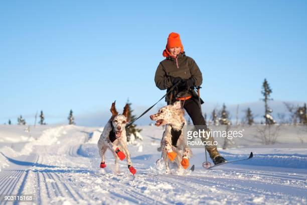 setters inglês correndo na neve, oppland noruega county - cão adestrado - fotografias e filmes do acervo