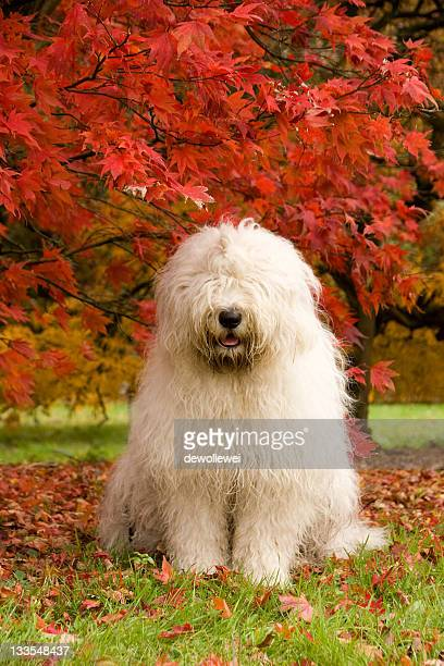 english sheepdog acer tree - old english sheepdog stock pictures, royalty-free photos & images