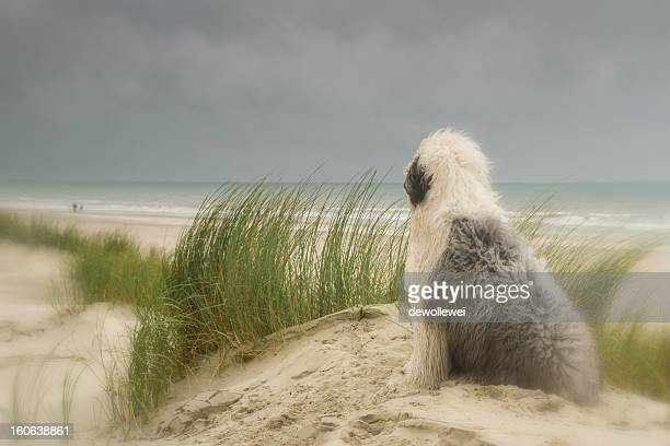 english sheepdog on the beach - old english sheepdog stock pictures, royalty-free photos & images