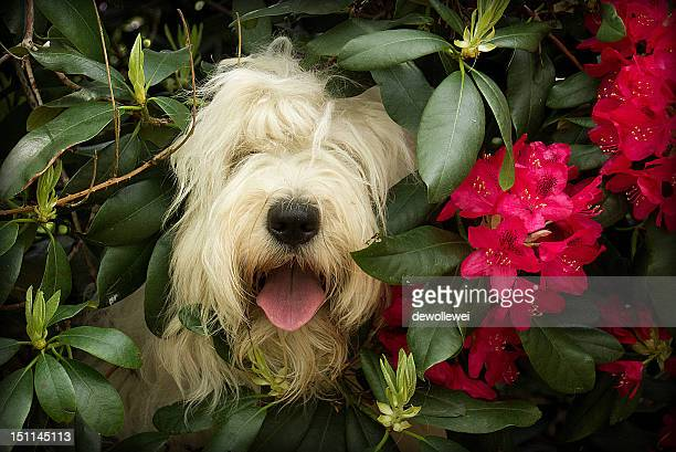 english sheepdog - hairy bush stock pictures, royalty-free photos & images