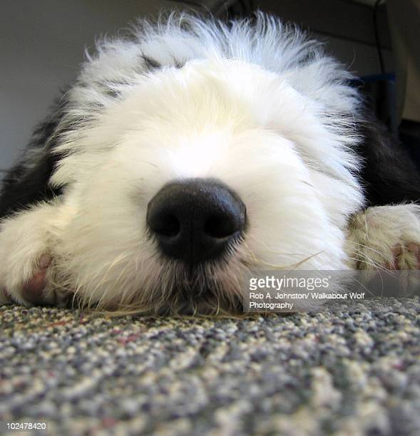 30 Top Old English Sheepdog Pictures, Photos and Images