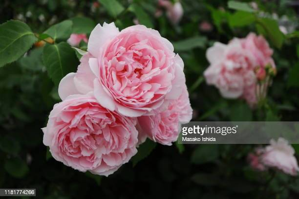 english shrub rose - the alnwick rose(alnwick castle) - alnwick castle stock pictures, royalty-free photos & images