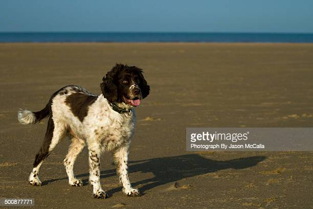 english springer spaniel at the beach - springer spaniel stock pictures, royalty-free photos & images