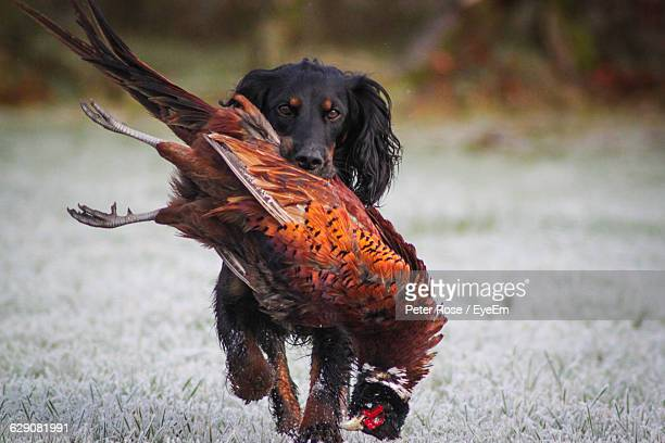 english springer spaniel carrying dead pheasant on field - english springer spaniel stock pictures, royalty-free photos & images