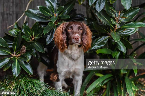 60 Top English Springer Spaniel Pictures, Photos, & Images - Getty