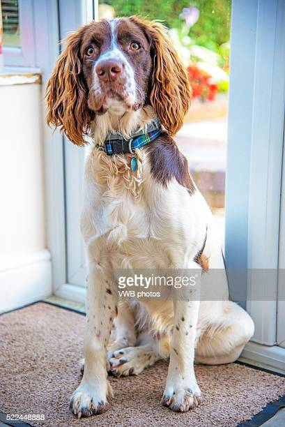 English Springer Spaniel, eager to be let out to play