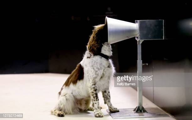 English Springer Spaniel Floki, who is 1 of 2 South Australian dogs is taking part the Covid-19 detection training at the University of Adelaide on...