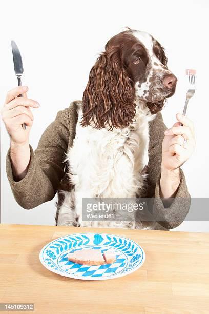English springer spaniel having dinner with knife and fork