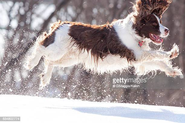 english springer spaniel in snow - english springer spaniel stock pictures, royalty-free photos & images
