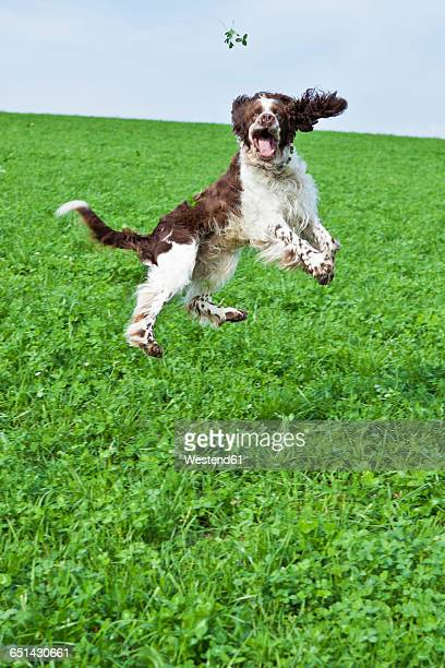 English Springer Spaniel jumping in the air on a meadow