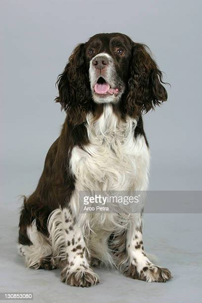 english springer spaniel old age - spaniel stock photos and pictures