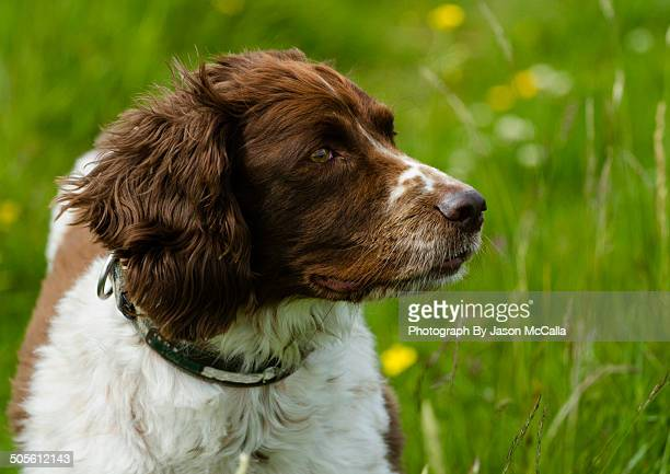 english springer spaniel - springer spaniel stock pictures, royalty-free photos & images