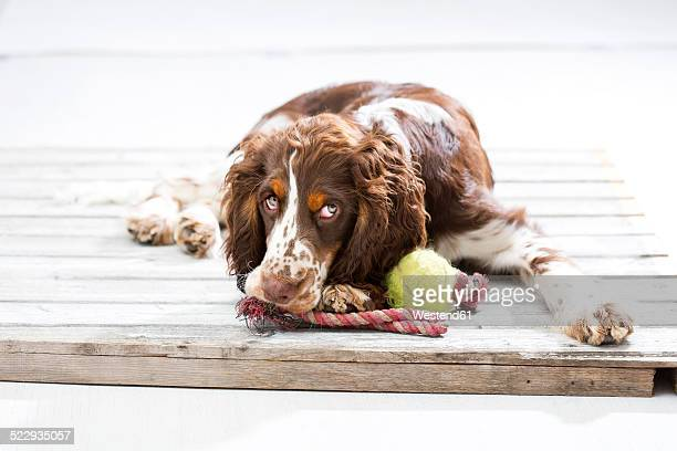English Springer Spaniel puppy lying on wooden pallet with his dog toys