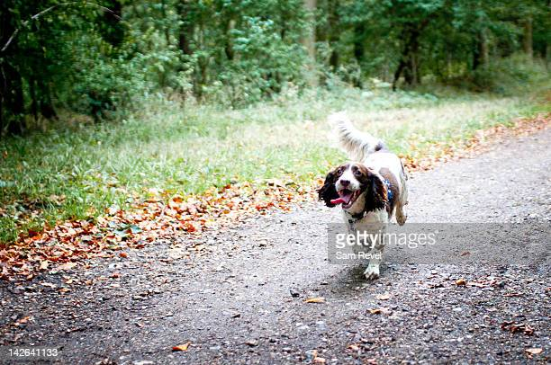 english springer spaniel running on path - springer spaniel stock pictures, royalty-free photos & images