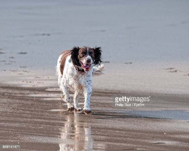 english springer spaniel walking on beach - springer spaniel stock pictures, royalty-free photos & images