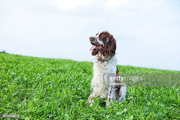 English Springer Spaniels sitting on a meadow