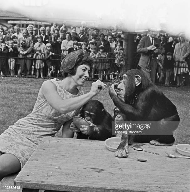 English television presenter Valerie Singleton of children's show 'Blue Peter' feeds the chimpanzees at London Zoo, UK, 31st May 1966.