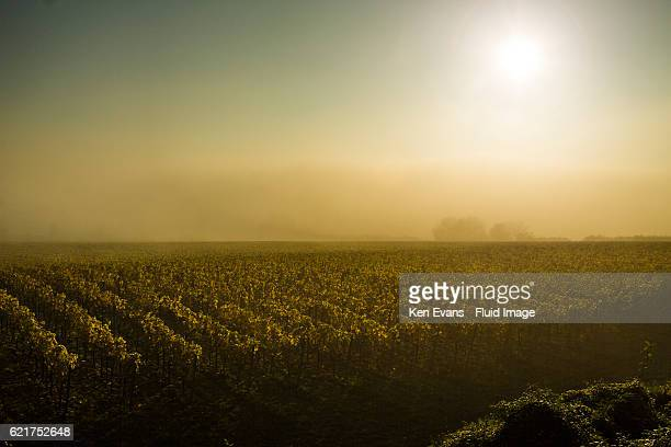 english vineyard in autumn mist and sun - kent county stock pictures, royalty-free photos & images