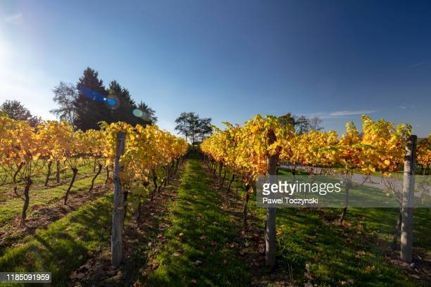 english vineyard in kent during autumn, south england, 2018 - harvest festival stock pictures, royalty-free photos & images