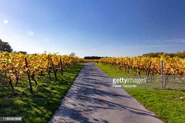english vineyard in kent during autumn, south england, 2018 - english culture stock pictures, royalty-free photos & images