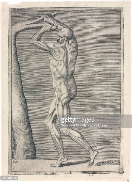 Engraved anatomical study by Giulio Bonasone of a man splitting the branch of a tree with his hands raised to the left