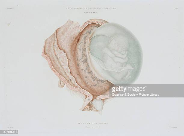 Engraved colour plate by Protais showing a human foetus at four months of development From the atlas edition of �Histoire Generale et Particuliere du...