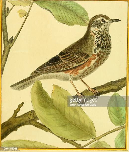 Engraved drawing of the Common Nightingale from the book Planches enluminees Dhistoire naturelle by Francois Nicolas Louis Jean Marie Daubenton and...