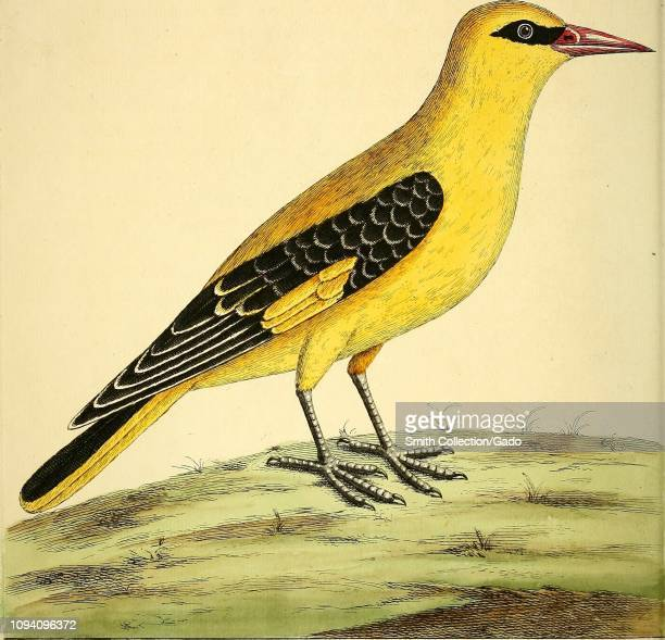 Engraved drawing of the Eurasian Golden Oriole from the book A natural history of birds by Eleazar Albin William Derham Jonathan Dwight and Marcia...