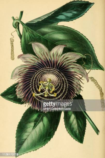 Engraved drawing of the Mr Middleton's Passionflower from the book 'Paxton's Magazine of Botany' by Sir Joseph Paxton 1842 Courtesy Internet Archive