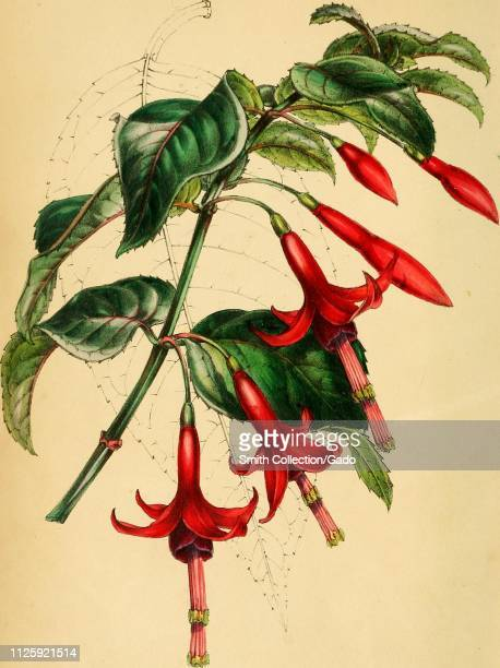 Engraved drawing of the Stemrooting Fuchsia from the book 'Paxton's Magazine of Botany' by Sir Joseph Paxton 1842 Courtesy Internet Archive